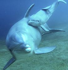 Dolphin Mama & Baby