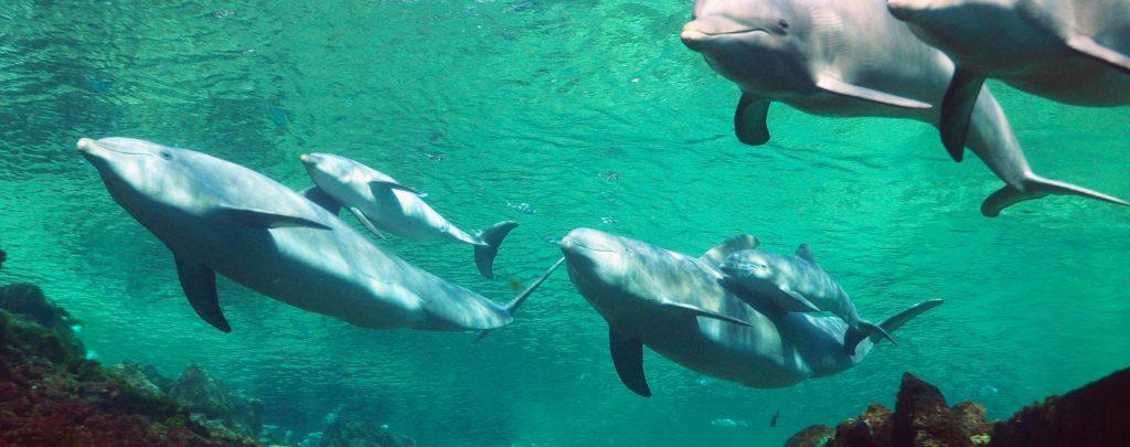 Hawaiian Dolphins & Babies